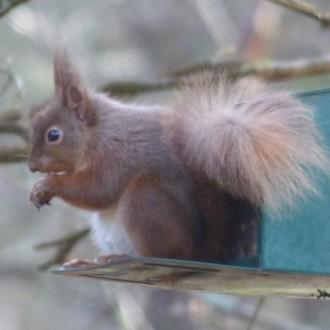 Inchree squirrel