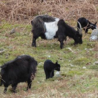 Kingairloch goats and kids