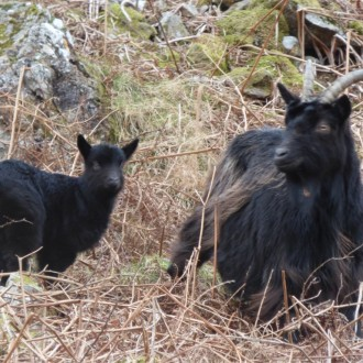 Kingairloch goat and kid