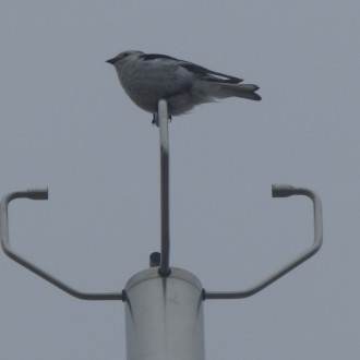 snow bunting on the weather station at Cairngorm summit