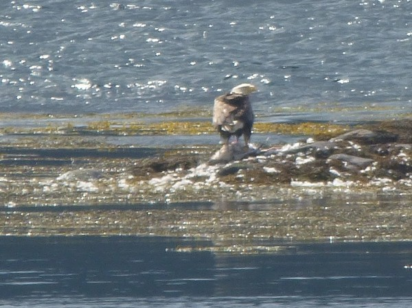 sea eagle perched on it's lunch at Garbh Eilan