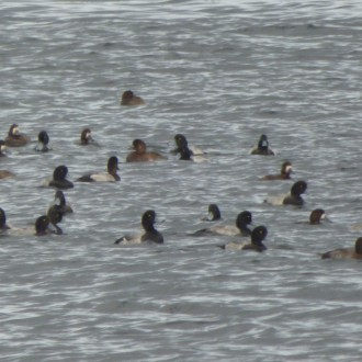 Large numbers of scaup in Cromarty Firth