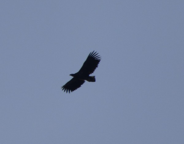 White tailed eagle over Ardtornish