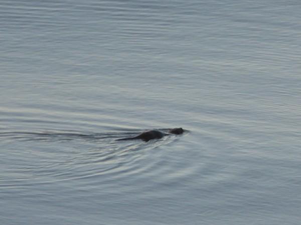 Small otter Ardtornish bay