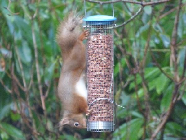 Squirrel on garden feeder with a short tail