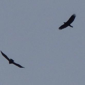 Glen Nevis eagle pair