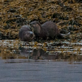 Otters - taken by Kev Mullins