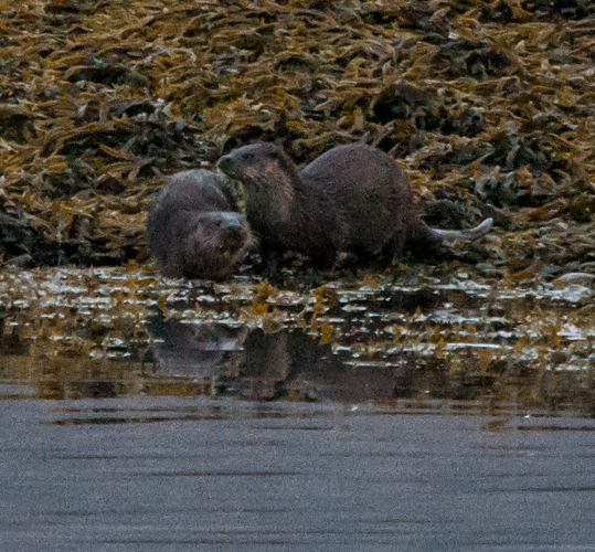 Otters - taken by Kev Mullins