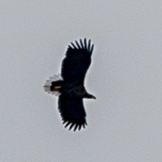 White-tailed eagle taken by Kev Mullins