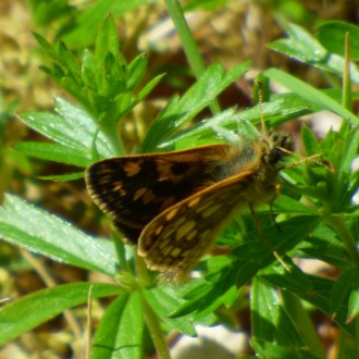 First chequered skipper