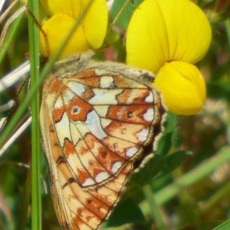 Pearl-bordered fritillary
