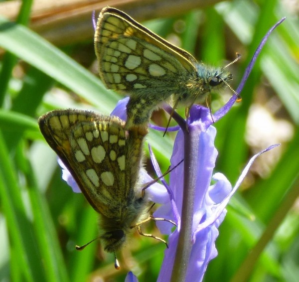 Mating chequered skippers Glen Loy