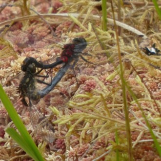 mating pair of white-faced darters