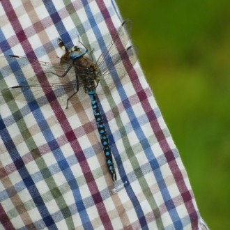 Azure hawker eating prey on Jon's shirt