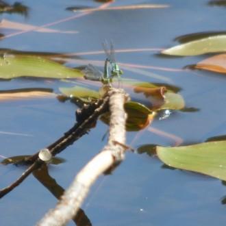 Mating pair of Northern damselflies