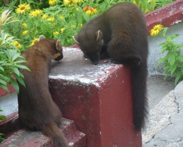 Mother and son pine martens