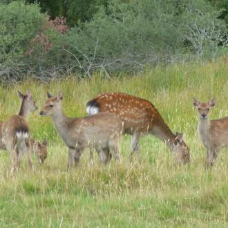 Group of sika deer Killin