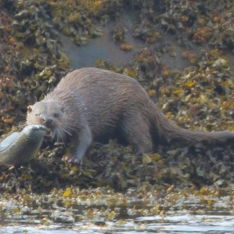 Otter with conger eel