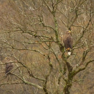 sea eagles in tree