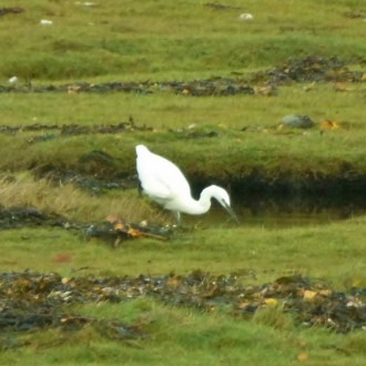 Little egret, Lochailort