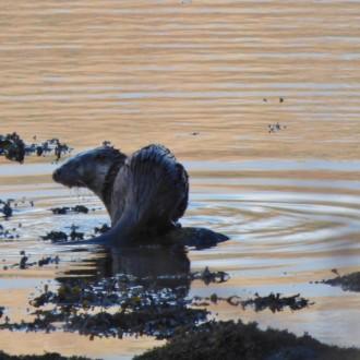 Otter, Loch Sunart