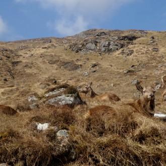 Arkaig red deer stags