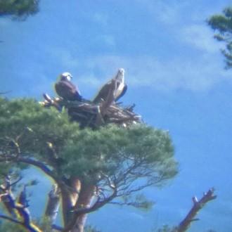Bunarkaig ospreys through scope