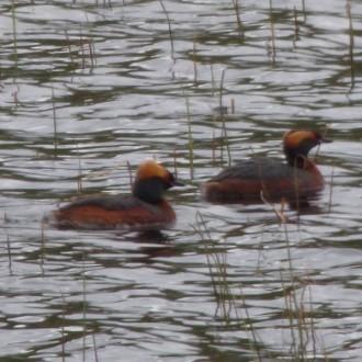 pair of Slavonian Grebe, Loch Ruthven