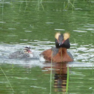 Slavonian grebe with young