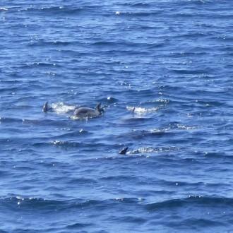 Bottlenose dolphins off Staffa