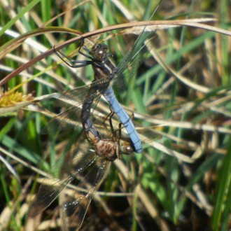 mating keeled skimmers