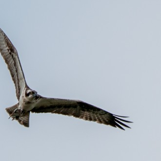 Osprey with flounder photo by Kev Mullins