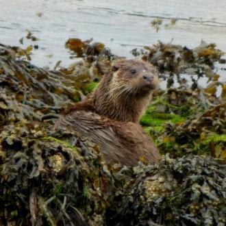 Otter in weed, Lochaline