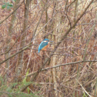 Kingfisher by the Caledonian canal