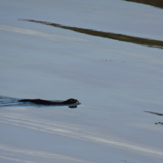 Mink swimming to shore