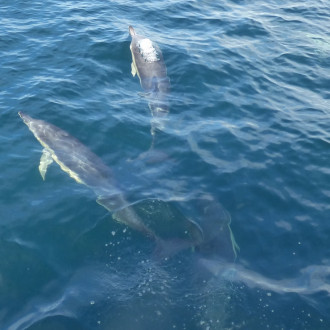 dolphins under boat