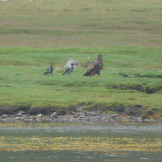 Sea eagle and hooded crows