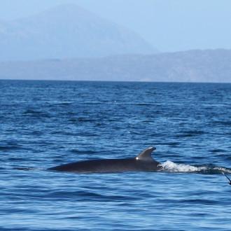 Minke whale and sheerwaters