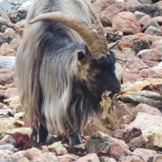 Goat on the beach